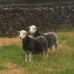 Our Herdwick sheep, Jemima and Beatrix